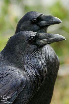 Ravens Mate For Life