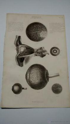 Lamina Antigua de Anatomía: Ojos y partes del ojo
