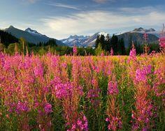 ***Fireweed and Mendenhall Peaks (Juneau, Alaska) [photographer unknown]