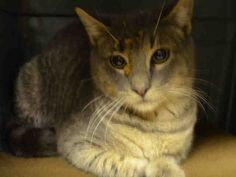 RAIN - A1099025 - - Brooklyn Please Share:*** TO BE DESTROYED 12/12/16 *** - Click for info & Current Status: http://nyccats.urgentpodr.org/rain-a1099025/