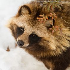 Tanuki - Japanese Raccoon Dog
