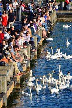 ღღ   Awww... that's always fun to feed the swans. :-)   Zürich, Switzerland