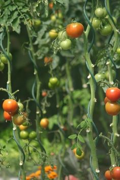 Imagen relacionada Plantar, Vegetables, Tomato Plants, Vegetable Garden, Veggies, Vegetable Recipes