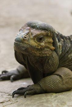 ˚Rhinoceros Iguana (Cyclura cornuta)