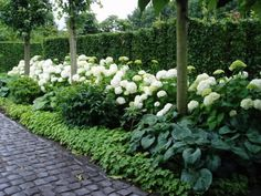 I want LOTS of these white ball hydrangeas in the front of the house, mixed in with some purple heather