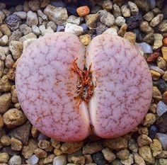 Lithops Cactus (10 Seeds)