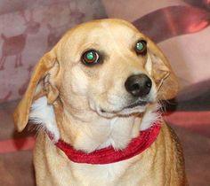 Daisy Beagle