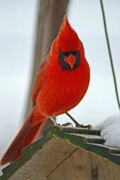 Cardinal of Cherylorraine Smith at - Best Adorable Animals Pretty Birds, Beautiful Birds, Animals Beautiful, All Birds, Love Birds, Bird Pictures, Animal Pictures, Cardinal Pictures, Animals And Pets
