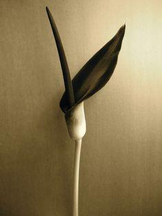The wonderful Black Lily, aka Voodoo Lily