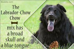 Information About the Chow-Lab Mix