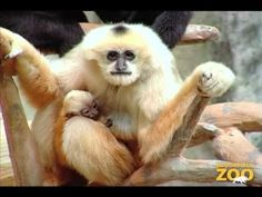 New Baby Gibbon at Brookfield Zoo