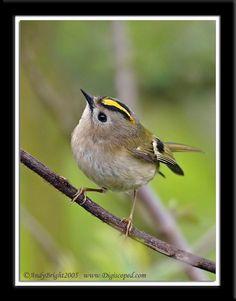 goldcrest bird | Warblers & Goldcrest