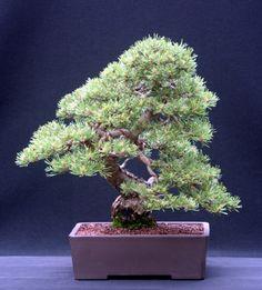 11 Bonsai Mugo Pine Ideas Mugo Pine Bonsai Bonsai Tree