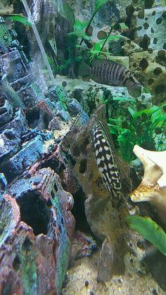 Cichlid Aquarium, Cichlids, Brown, Brown Colors