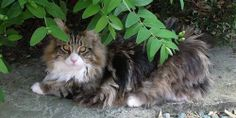 Photos of Maine Coon cats and kittens from the UK Cat Breeders blog.