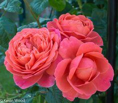 Rose - SUMMER SONG