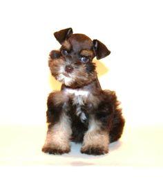 Toy Miniature Schnauzers | Akc Toy Miniature Schnauzer Puppies Super Coats Guaranteed in Decatur ...