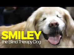 Love Love Love This Smiley Overcomes Blindness And His Puppy - Born blind smiley the golden retriever becomes a loving therapy dog