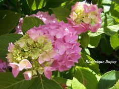 Début de floraison des Hortensias