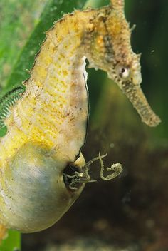 The male seahorse is equipped with a pouch on the ventral, or front-facing, side of the tail. When mating, the female seahorse deposits up to 1,500 eggs in the male's pouch. The male carries the eggs for 9 to 45 days until the seahorses emerge fully developed, but very small.