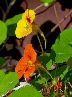 Garden Nasturtium, Tropaeolum majus - Flowers - NatureGate