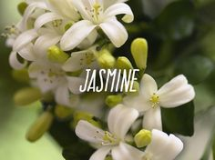 Jasmine The essential oil derived from the jasmine flower is said to increase euphoria. It was originally used to battle impotence, premature ejaculation, and lack of passion. Essential Oil For Men, Oils For Men, Jasmine Essential Oil, Curve For Men, Esential Oils, Beauty Treats, Young Living Oils, Beauty Hacks, Beauty Tips