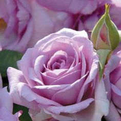 Enchanted Evening Lavender Rose Among the best lavender roses ever! The full, ruffled blooms wear darker lavender at their centers with a silvery reverse. All Flowers, My Flower, Pretty Flowers, Lavender Roses, Purple Roses, Lavender Blossoms, Rose Foto, Patio Trees, Perfume Diesel
