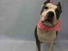 SUPER URGENT 02/13/16 Manhattan Center RED ROSE – A1065035 FEMALE, GRAY / WHITE, PIT BULL MIX, 8 yrs STRAY – STRAY WAIT, NO HOLD Reason STRAY Intake condition ILLNESS Intake Date 02/13/2016, From NY 10035, DueOut Date 02/16/2016,