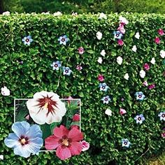 Rose of Sharon Hedge~I've planted mine as a trellis going into the pool area (no metal or wooden support-just shrubs). Plant on either side of a walkway and they will grow into a hedge. I shape each spring then let neutralize