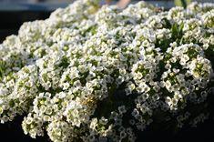 Ένα ολόλευκο αφράτο χαλί στον κήπο σου. Ο άλυσσος είναι!