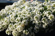 Broccoli, Window Boxes, Vegetables, Flowers, Plants, Gardening, Colorful, Decoration, Design