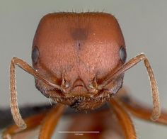 7-fourmi-rouge-moissonneuse  la fourmi rouge moissonneuse (Pogonomyrmex barbatus) :
