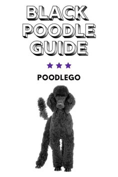 Poodle Cuts, Poodle Mix, Tiny Puppies, Kittens And Puppies, Black Standard Poodle, Standard Poodles, Doodle Dogs For Sale, Miniture Poodle, Doodle Dog Breeds