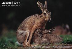 Brown hare photo - Lepus europaeus - image-A10408