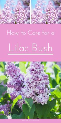 Learn how to properly care for a lilac bush with this guide. Lilac bushes are actually low-maintenance perennial shrubs that can live for decades and produce large fragrant flower blooms in the spring!
