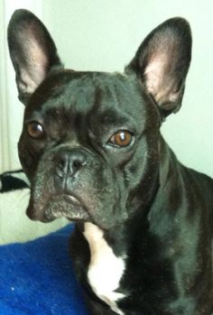 French bulldog portrait. Black brindle perfection. #frenchbulldog #frenchie