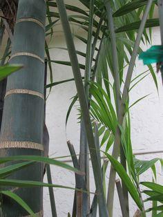 'Green Bamboo' palm