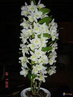 Resultado de imagem para tipos de orquídeas dendrobium