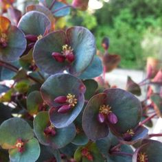 Exotic Plants, Exotic Flowers, Tropical Plants, Colorful Flowers, Beautiful Flowers, Backyard Plants, Garden Plants, House Plants, Euphorbia Milii