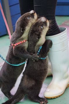 Otter looking for snacks brought a friend for reinforcement