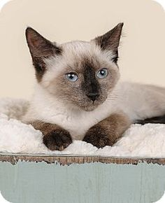 Bristol, CT - Domestic Shorthair. Meet Peony, a kitten for adoption. http://www.adoptapet.com/pet/16603663-bristol-connecticut-kitten