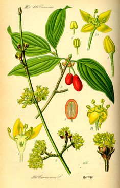 Cornelian Cherry Dogwood botanical illustration via wiki commons (Illustration_Cornus_mas0.jpg 1,469×2,284 pixels)