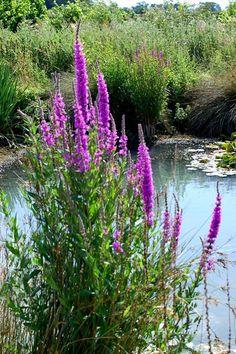 Purple Loosestrife - Lythrum virgatum Bog Plants, Water Plants, Purple Loosestrife, Torch Lake, Picture Templates, Weed Pictures, Rain Garden, Clay Soil, Weed Control