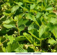 strawberry leaves on the field - stock photo