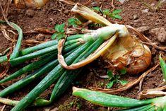 Igaz az, hogy Margit napján (június le kell taposni a hagyma szárát? Vitamin V, Grow Organic, Garden Plants, Celery, Asparagus, Green Beans, Carrots, Vegetables, Gardening