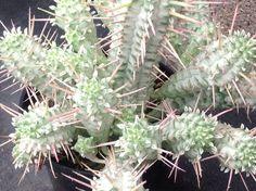 Succulent plant Corncob cactus. Resembles an by SuperSucculentShop