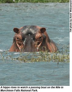 hippo in the Nile at Murchison!! ( I was there)