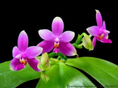 phalaenopsis violacea - Buscar con Google