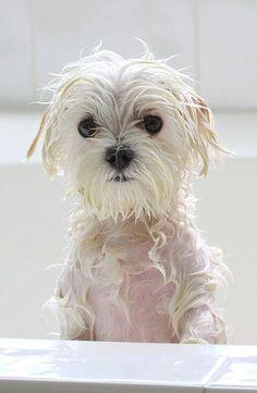 Maltese bath time! Poor baby
