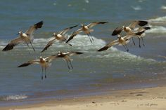 American Avocets, with breeding plumage ~ Recurvirostra americana ~ Lake Michigan | by j van cise photos